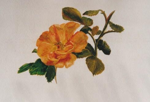 Rose aquarelle février 2003